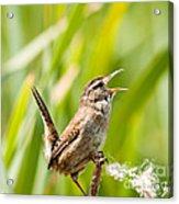 Marsh Wren Singing For Spring Acrylic Print