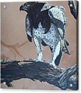 Martial Eagle Acrylic Print