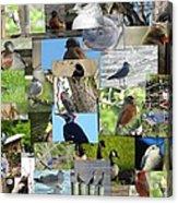 Maryland Birds Acrylic Print by Tom Ernst
