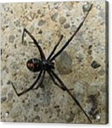 Maryland Black Widow Acrylic Print