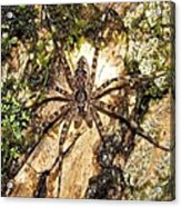Brown Fishing Spider Acrylic Print