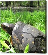 Maryland Spotted Turtle Acrylic Print