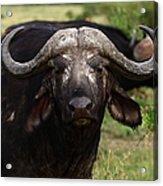 Masai Mara Buffalo Acrylic Print