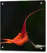 Masdevallia Orchid II Acrylic Print