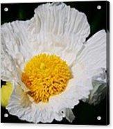 Matilijia Poppy 2 Acrylic Print