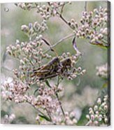 Mating Grasshoppers Acrylic Print