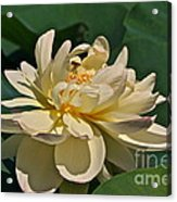 Mature Lotus Flower And Cute Hovering Honeybee Acrylic Print