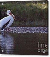 Mature Pelican   #9337 Acrylic Print