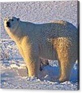 Mature Polar Bear Acrylic Print