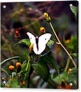 Maui Butterfly Acrylic Print