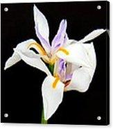 Maui Lilies On Black II Acrylic Print