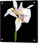 Maui Lilies On Black Acrylic Print
