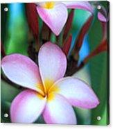 Maui Plumeria Acrylic Print by Kathy Yates