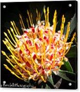 Maui Protea Acrylic Print
