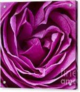 Mauve Rose Petals Acrylic Print