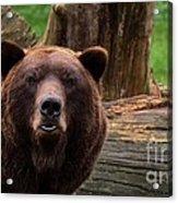 Max The Brown Bear Acrylic Print
