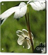 May Apple Flower Acrylic Print