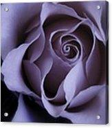 May Dreams Come True - Purple Pink Rose Closeup Flower Photograph Acrylic Print