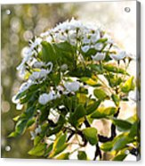 May Pear Blossoms Acrylic Print