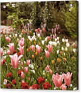 May Tulips Acrylic Print
