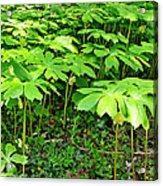 Mayapple Plants Acrylic Print