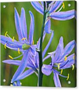Meadow Camas Acrylic Print