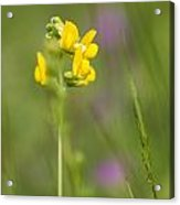 Meadow Vetchling Acrylic Print