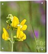 Meadow Vetchling Wild Flower Acrylic Print
