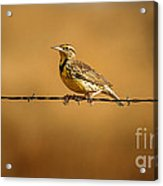 Meadowlark And Barbed Wire Acrylic Print