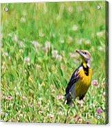 Meadowlark In The Wildflowers Acrylic Print