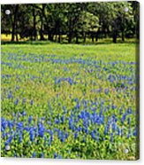 Meadows Of Blue And Yellow. Texas Wildflowers Acrylic Print
