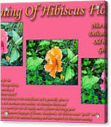 Meaning Of Hibiscus Flowers Acrylic Print