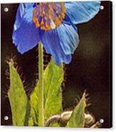 Meconopsis Himalayan Blue Poppy Acrylic Print