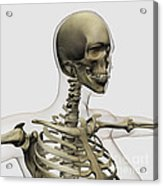 Medical Illustration Of A Womans Skull Acrylic Print by Stocktrek Images