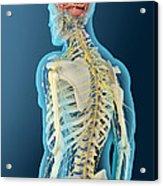 Medical Illustration Of Human Brain Acrylic Print
