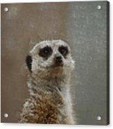 Meerkat 5 Acrylic Print