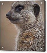 Meerkat 9 Acrylic Print by Ernie Echols