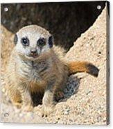 Meerkat Baby Acrylic Print