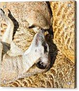 Meerkat Group Resting Acrylic Print