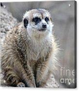 Meerkat Is Waiting Acrylic Print