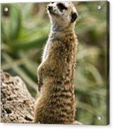 Meerkat Mongoose Portrait Acrylic Print