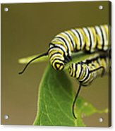 Meeting In The Middle - Monarch Caterpillars Acrylic Print