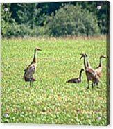 Meeting Of The Cranes Acrylic Print