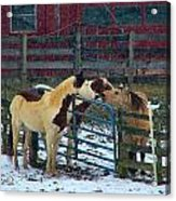 Meeting Of The Equine Minds Acrylic Print