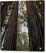 Meeting Of The Sequoias Acrylic Print
