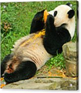 Mei Xiang Chowing On Frozen Treat Acrylic Print