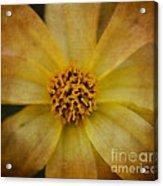 Mellow Yellow  2 Acrylic Print
