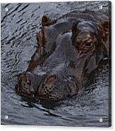 Menacing Hippo Acrylic Print by Graham Palmer