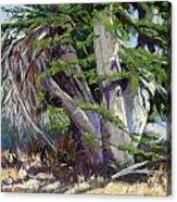 Mendocino Cypress II Acrylic Print