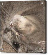 Meowww I Have A Headache Acrylic Print